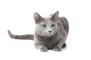 8913Russian_blue_cat