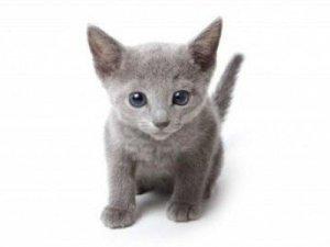 blue-cat