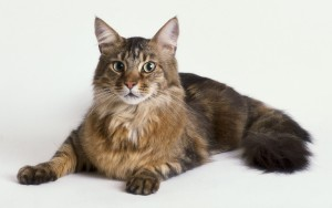 maine_coon2