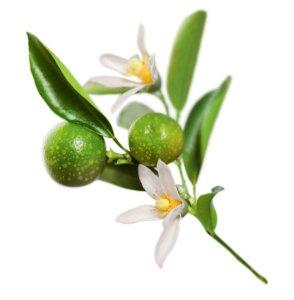 kakadu-plum