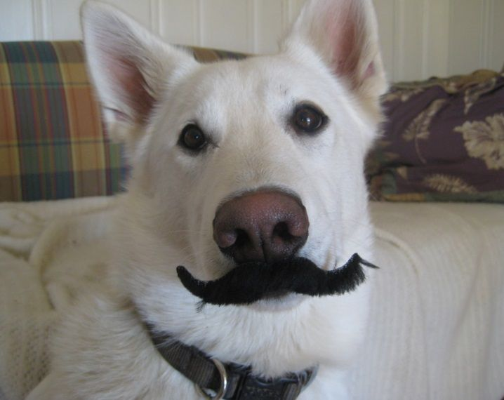 Top-10-Dashing-and-Debonair-Dogs-With-Mustaches-8.jpg