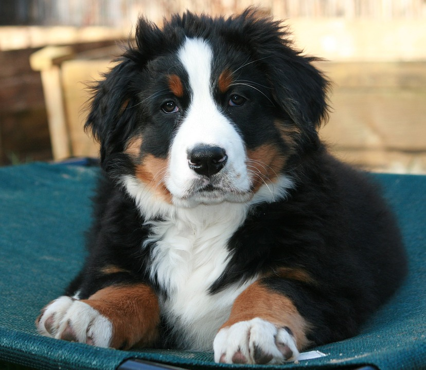 bernese-mountain-dog-1284702_960_720