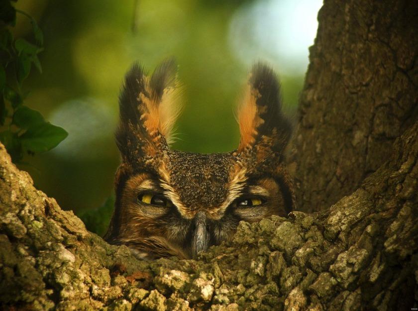great-horned-owl-1157986_960_720