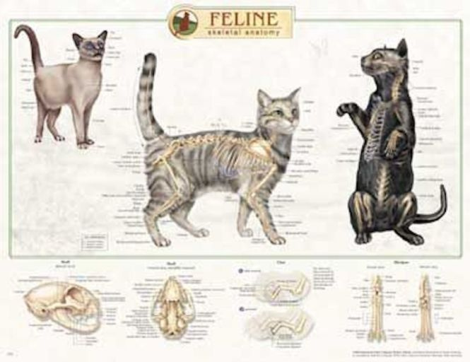 Cat Anatomy The Best Cat 2018