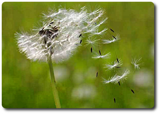 blowing-dandelion-seeds.jpg