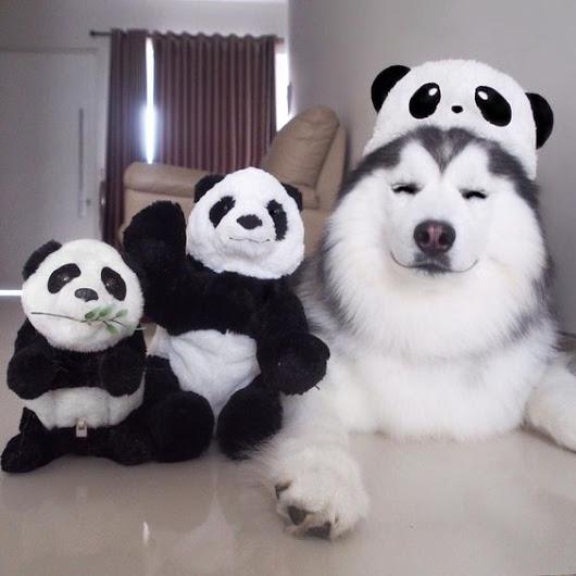 238 I'm Panda