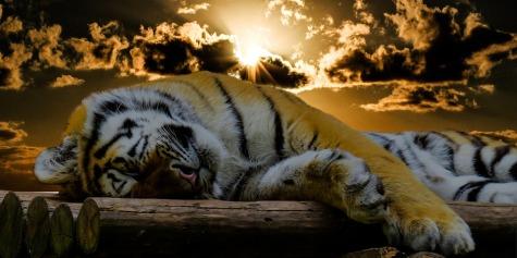 tiger-1673874_960_720