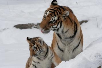 tiger-586019_960_720