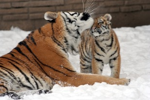 tiger-586070_960_720