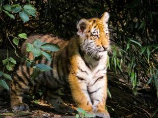 tiger-987687_960_720