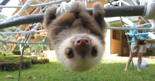Watch Rescued Baby Sloths Have A Conversation And Try Not To Smile.png