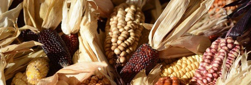 ornamental-corn-1651971__340
